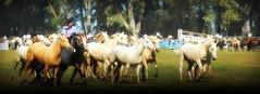 Los Bayos de Castaazo (Eduardo Amorim) Tags: horses horse southamerica argentina criollo caballo cheval caballos cavalos pferde herd cavalli cavallo cavalo gauchos pferd ayacucho chevaux gaucho cavall  amricadosul gacho amriquedusud provinciadebuenosaires  gachos  sudamrica suramrica amricadelsur sdamerika crioulo caballoscriollos criollos  tropillas buenosairesprovince americadelsud tropilhas tropilla crioulos cavalocrioulo americameridionale tropilha caballocriollo eduardoamorim cavaloscrioulos
