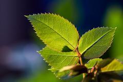Just leaves (WillemijnB) Tags: plant macro hoja texture leaves leaf pattern bokeh depthoffield foliage feuilles rosier pottedrose organicpattern justleaves macromondays potroos rosierenpot justedesfeuilles