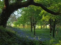 Young and Old (tony marfell) Tags: bluebells woodland oak woods ceredigion rspb ynyshir