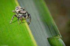 Zebra Spider ( salticus scenicus ) (scarramooch) Tags: colour macro closeup spider jumping nikon sigma zebra d7100