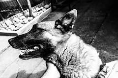 H E R O (wildbam25) Tags: blackandwhite bw dog white black blackwhite sony hund schwarz weis schwarzweis