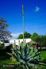 Katy Century Plant ! (backup1940) Tags: flower texas katy sony centuryplant katytexas