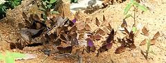 Eunica pusilla H. Bates, 1864 and Diaethria clymena Cramer 1775 (alrcardoso) Tags: butterfly butterflies borboleta 88 borboletas 89 pusilla eightyeight nymphalidae butterflyes eightynine puddling mudpuddling eunica panapana diaethria diaethriaclymena purplewing eunicapusilla