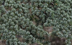 Cedar 1 (orientalizing) Tags: desktop cyprus cedars cypriot featured troodosmountains cedrusbrevifolia endemictrees cypriotcedars koiladatonkedron tripylosregion troodos  valleyofthecedars