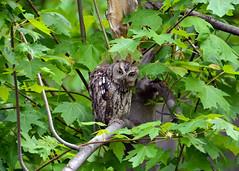 Eastern Screech Owl (av8s) Tags: ohio nature birds photography nikon wildlife sigma owl oh easternscreechowl screechowl maumeebay d7100 120400mm