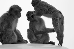 Barbary Macaques Fighting (sophiehep) Tags: monkey hit action ape punch macaque barbary