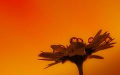 drops (Yasmine Hens) Tags: orange flower fleur drops europa flickr belgium ngc namur hens yasmine gouttes wallonie iamflickr flickrunitedaward hensyasmine