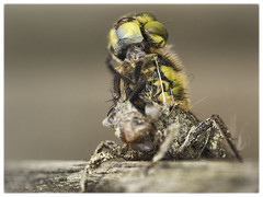 Drei Szenen des Schlupfvorgangs einer Vierfleck Libelle (Sonnenblume) Tags: insekt metamorphose libellulaquadrimaculata vierflecklibelle schlupfvorgang