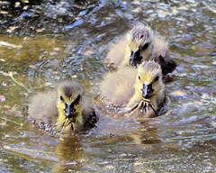Swim team. (johnalvord) Tags: bird geese brantacanadensis canadageese cuyahogavalleynationalpark summitcountyohio