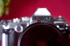 Un maggiolino tutto matto! (Antonio Iacobelli (Jacobson-2012)) Tags: red cactus macro nikon df colore ladybug 60mm nikkor rosso bari d800 coccinella maggiolino sb00 su800 sb900 sb700 rf60 565ex sb910 yongunuo