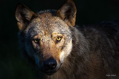 Burning eyes (pekka.nikula) Tags: eye nature finland eyes wolf wildanimal wilderness widlife ilomantsi