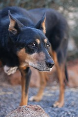 Fox (hopenfox) Tags: dog australian kelpie