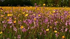 Early summer meadow (Englepip) Tags: pink flowers wild plants green field grass yellow landscape countryside natural buttercup outdoor meadow hampshire raggedrobin sherfieldonloddon englepip