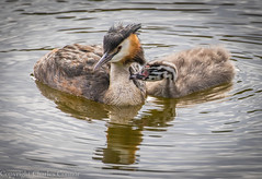 Crested Grebe with Chick (cconnor124) Tags: wild nature canoneos waterbirds naturephotography wildbirds grebes birdphotography uknature wildlifephotography largebirds carrmilldam colourfulbirds birdswithyoung crestedgrebes