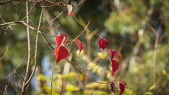 The Last Red Leaves (Theen ...) Tags: adelaide autumn bare bokeh branches dogged gold green last leaves lumix red reluctant theen tree urrbrae waitearboretum winter