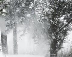 15 February 2016: Throwing the snow around (RobinMSP) Tags: trees winter snow nature maryland easternshore cedars dailywalk maidinsunphotography