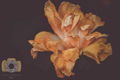 untitled-12.jpg (EGM2002) Tags: flower canon garden eos is usm ef 70200mm ef70200mm f4l canonef70200mmf4lisusm canon7dmkii 7dmkii canoneos7dmkii