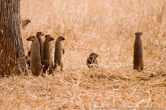A group of banded mongoose all popped up at the same time to check things out (3scapePhotos) Tags: africa tanzania animal animals banded check continent group mongoose out popped safari tarangire