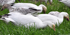 2012-02-24 Snow Geese (21) (D90 Archives) (2048x1024) (-jon) Tags: bird field grass geese feeding eating conway goose pacificnorthwest skagit pugetsound waterfowl anacortes washingtonstate laconner skagitcounty salishsea lessersnowgoose chencaerulescens firisland oiedesneiges skagitwildlifearea d90archives a266122photographyproduction