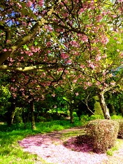 Cherry Blossom Pathway to heaven (semonalarochelle) Tags: pink white tree nature grass petals spring path branches hedge trunk cherryblossom colourful
