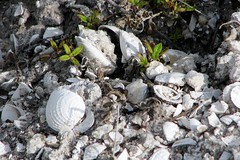 Semi-fossil shells washing out of a sand-bank about three miles inland from the current shore line  6523 (Tangled Bank) Tags: from county wild shells beach nature out three venus natural florida clam palm shore about miles inland current washing sandbank 6494 elevata chione