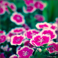 Red Flowers in a Vase (ChristianRock) Tags: flowers nature garden georgia 50mm pentax manual manualfocus 50mmf14 rikenon 50f14 ricoh50mmf14 kmount rikenon50mmf14 k20d pentaxk20d rikenonxr50mmf14
