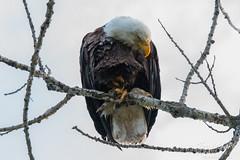 Bald Eagle preens