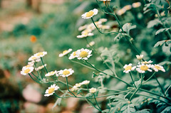 Hope (gnivmcelada) Tags: flowers inspiration plant green garden photography hope whiteflower nikon blossom philippines quotes bloom baguio botanicalgarden feverfew d7k d7000