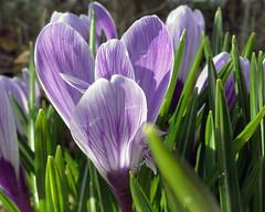 Crocus (Maia C) Tags: flower spring crocus 2015 maiac sonydschx1