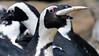 Spheniscus demersus (JGOM) Tags: netherlands zoo arnhem nederland burgers burgerszoo dierentuin dierenpark burgersdierenpark