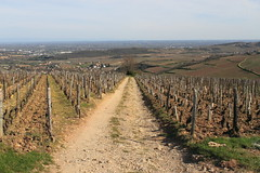 VIGNOBLE DE VERGISSON (cirodde71) Tags: vergisson