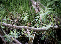 150502-IMG_0465 (matthiaskunz) Tags: bird birds spring ammer 2015 zaunknig ammertal