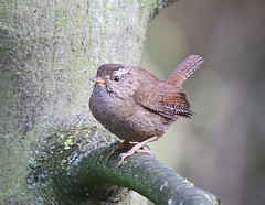 Wren Troglodytidae 002 (cwoodend..........Thanks) Tags: bird birds wildlife wren 2015 troglodytestroglodytes