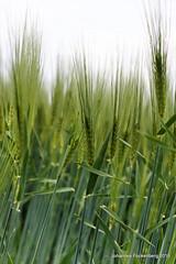 Junges Brot (grafenhans) Tags: minolta sony pflanze 1750 af alpha 700 acker getreide ähren a700 alpha700