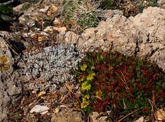 Eriogonum ovalifolium var. nivale & Eriogonum umbellatum var. porteri DSC05790 (sierrarainshadow) Tags: eriogonum umbellatum var ovalifolium nivale porteri