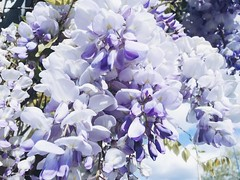 Wisteria lovely fragrant in lavender (rocketcandy) Tags: flowers blue sky canada flower tree nature vancouver dance spring branch afternoon bc purple dream ivy windy petal explore cuddle photowalk planet bloom hanging imagination loves fade 365 bcit wisteria breezy springtime drift iphone happyplanet starred 2015 ccanada project365 365days explored wisterias 365project