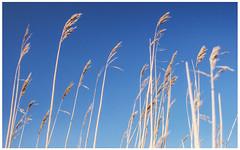 Waving in the Wind, Kintyre (Gordon_Farquhar) Tags: blue sea sky sun west beach water coast scotland sand waves argyll peninsula kintyre campbeltown macrihanish