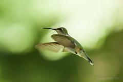 Backyard_Birds_5-7-15-1232 (RobBixbyPhotography) Tags: birds backyard florida jacksonville hummingbirds wren