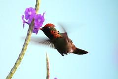 birds trinidad lophornisornatus