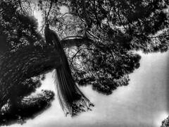 Peacock on tree. Underexposition. (Luis Iturmendi) Tags: tree real peacock pavo