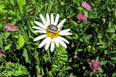 virgbogr margartn / Rose Beetle on oxeye daisy (debreczeniemoke) Tags: plant flower field insect spring meadow asteracea