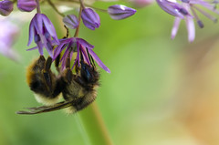 Upside-down bee (James_D_Images) Tags: flower green nature closeup purple bee whidbeyisland washingtonstate allium langley canon500dcloseuplens