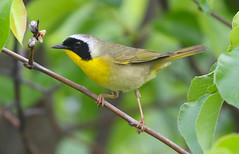 Common Yellowthroat (wvsawwhet) Tags: bird birds yellow birding wv westvirginia birdwatching warbler marioncounty prickettsfort westvirginiabirds birdsofwestvirginia