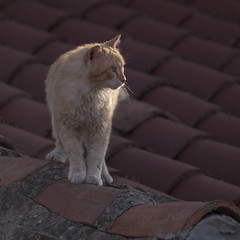 Chat de gouttire -* (Titole) Tags: roof rooftop cat kat chat tiles gato squareformat katze toit gatto tuiles thechallengefactory titole nicolefaton