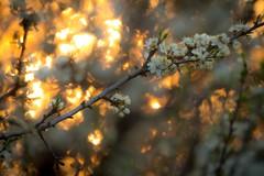In bloom (pakerholm) Tags: flowers sun nature spring nikon sweden natur sigma 600 sverige blommor vr srmland d600 d610 motljus sdermanland sigmasport oxelsund nikond600 150600 sigma150600 nikond610 sigma150600mmf563 sigma150600f563dgsports