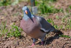 Common Wood Pigeon (weird-osaka) Tags: bird pigeon vogel duif woodpigeon columbapalumbus commonwoodpigeon houtduif