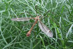 012360 - Insecto (M.Peinado) Tags: camping copyright espaa naturaleza fauna canon spain kdd insecto comunidaddemadrid 2016 becerrildelasierra rinconanimalista abrilde2016 rincnanimalistaadamasawabona kdd24042016 24042016 canoneossx60hs