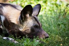 Head of a african wild dog (Cloudtail the Snow Leopard) Tags: wild dog berlin animal mammal zoo african hund tier lycaon sugetier pictus afrikanischer wildhund hynenhund
