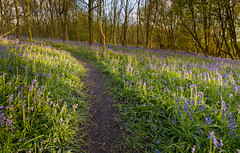 Bluebells in Burroughs Wood (John__Hull) Tags: wood uk flowers trees summer england sun sunlight nature grass bluebells woodland landscapes countryside nikon shadows leicestershire path breath sigma burroughs trust taking 1020mm burrough d3200 ratby