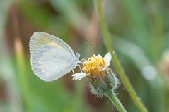 Eurema daira (fabriciodo) Tags: macro butterfly insect lepidoptera papillon borboleta mariposa schmetterlinge farfalle pieridae lépidoptère eurema euremadaira